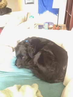 black doggie snuggling on a couch