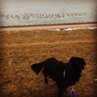 Big black dog looking at geese in the lake
